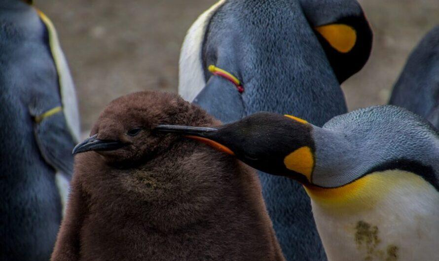 Похожего на киви пингвиненка сочли злюкой