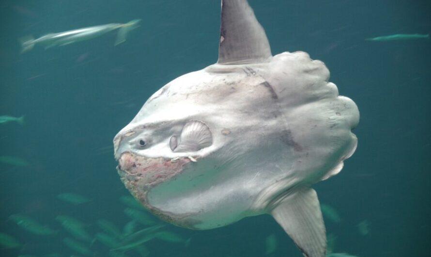 Громадная рыба-солнце поразила своими размерами при рождении